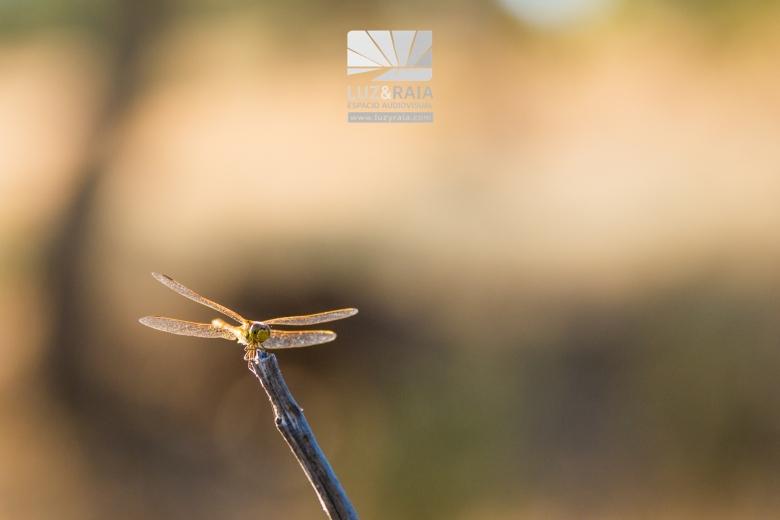 Fotografía Luz y Raia libélula naturaleza en sierra de San Pedro, Cáceres, Tajo Internacional